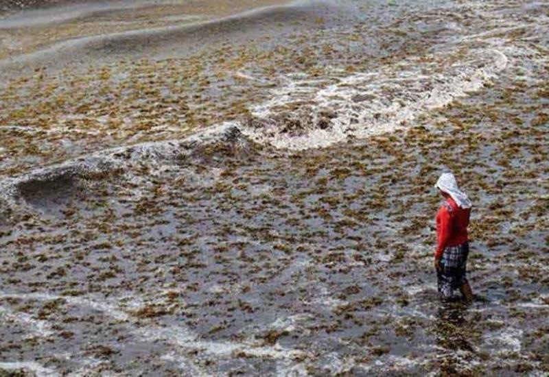 Advierten desastre ecológico por sargazo en playas mexicanas