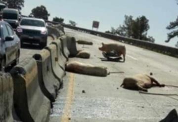 Vuelca camión que transportaba cerdos y pobladores los rapiñan