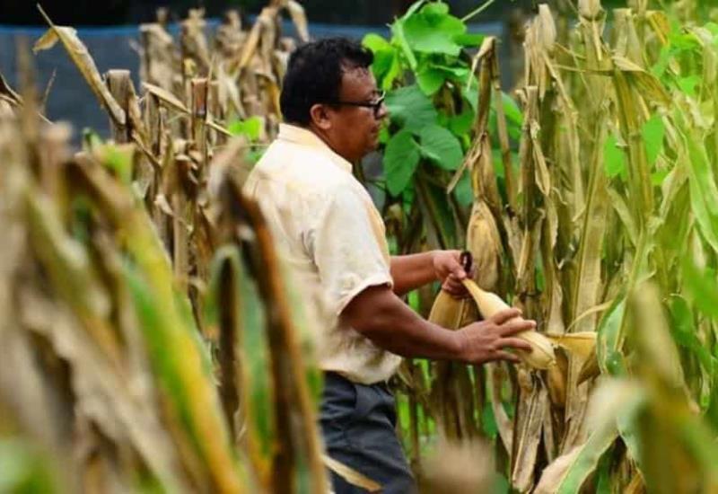 Campesinos de la zona Yokotan de Tamulté recogen su maíz de la milpa entre el agua