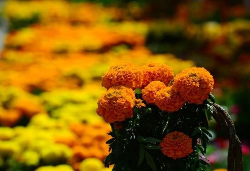 Llegan las flores de cempasúchil a la capital tabasqueña